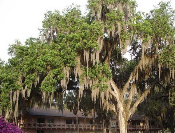 Live Oak tree at Lake Yale
